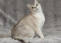 Gato de Birmania