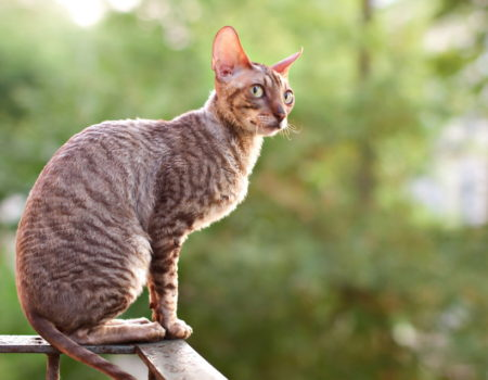 Gato Rex californiano