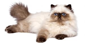 Gato del Himalaya