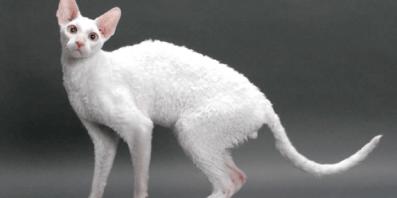Gato Rex de Cornualles