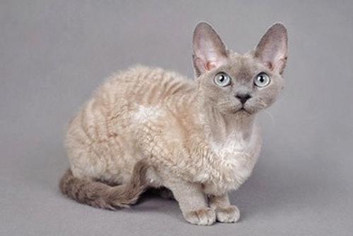 Gato Rex alemán