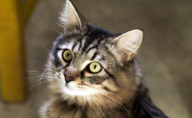 Gato de callejón