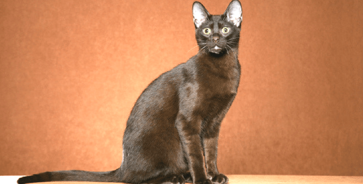 Gato marrón de la Habana