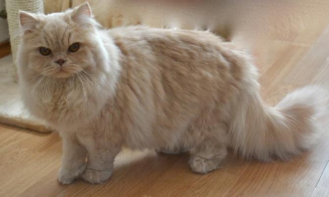 Gato británico de pelo largo
