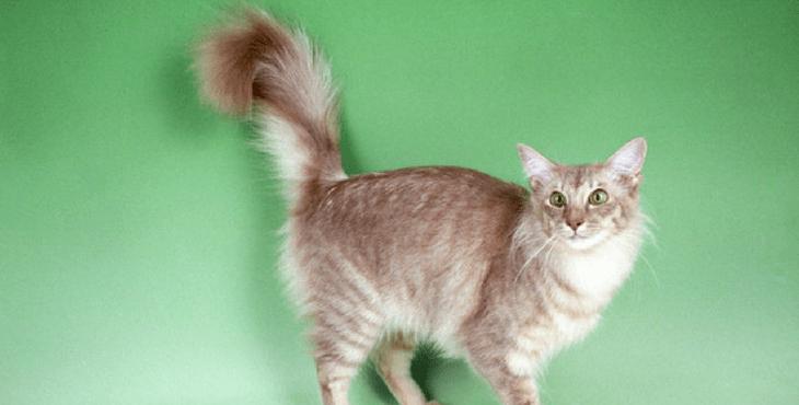 Gato de Java