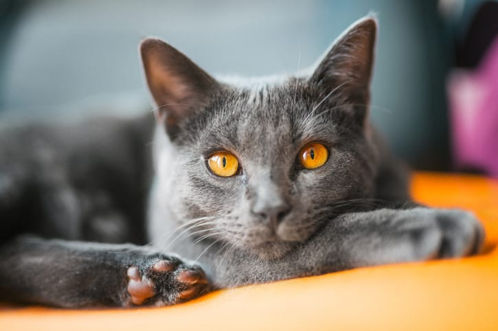 Gato cartujano