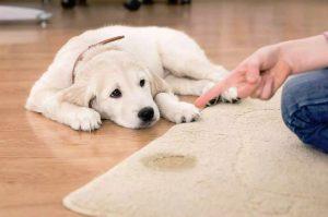 Cómo quitar las manchas de caca y orina de gato de tu alfombra