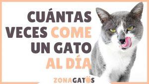 ¿Cuántas veces al día debe comer un gato?