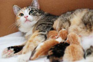 ¿Cuánto tiempo están embarazadas las gatas? Guía de embarazo de gatos | Alimentación, etapas, signos