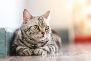 Datos sobre el gato americano de pelo corto: Orígenes, Colores, Precio, Problemas de salud, Nutrición