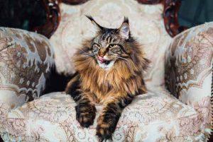 Datos sobre el gato de Maine Coon: Orígenes, Colores, Precio, Problemas de salud, Nutrición