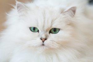 Datos sobre el gato persa: Orígenes, Colores, Precio, Problemas de salud, Nutrición