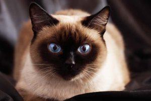 Datos sobre el gato siamés: Orígenes, Colores, Precio, Problemas de salud, Nutrición