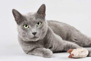 Datos sobre los gatos azules rusos | Lo que hay que saber sobre estos gatitos - Características, problemas de salud, precio y más