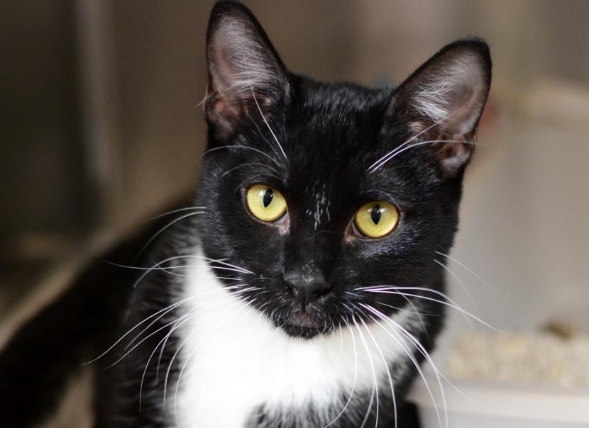 Datos sobre los gatos de esmoquin   Lo que necesitas saber