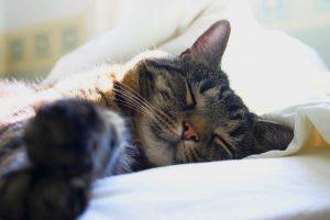 Diciéndole adiós a tu mejor amigo: Cómo afrontar la muerte de tu gato de compañía