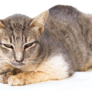 Herpes felino en gatos y gatitos: ¿Qué es el herpesvirus felino? Síntomas, cómo lo contraen los gatos y opciones de tratamiento