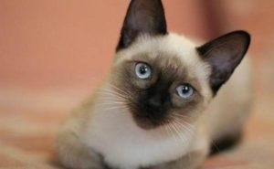 La guía definitiva de las diferentes razas de gatos (más de 100 razas felinas)