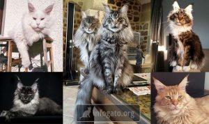 Las 10 razas de gatos más grandes del mundo - Peso, longitud, altura y datos interesantes del macho y la hembra