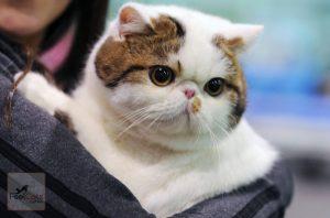 Razas de gatos de diseño y exóticos | Hechos, información, precio y más