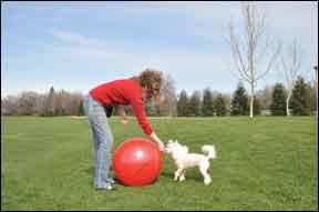 ¡Intenta con Treibball! El nuevo deporte de pastoreo - No se necesitan ovejas