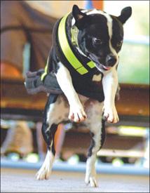 Tirón de peso canino competitivo