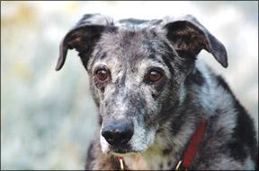 ¿Su perro mayor ha empezado a perder la audición?