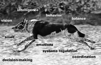 El Sistema Nervioso Central Canino