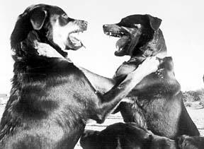 Clases de entrenamiento para perros agresivos