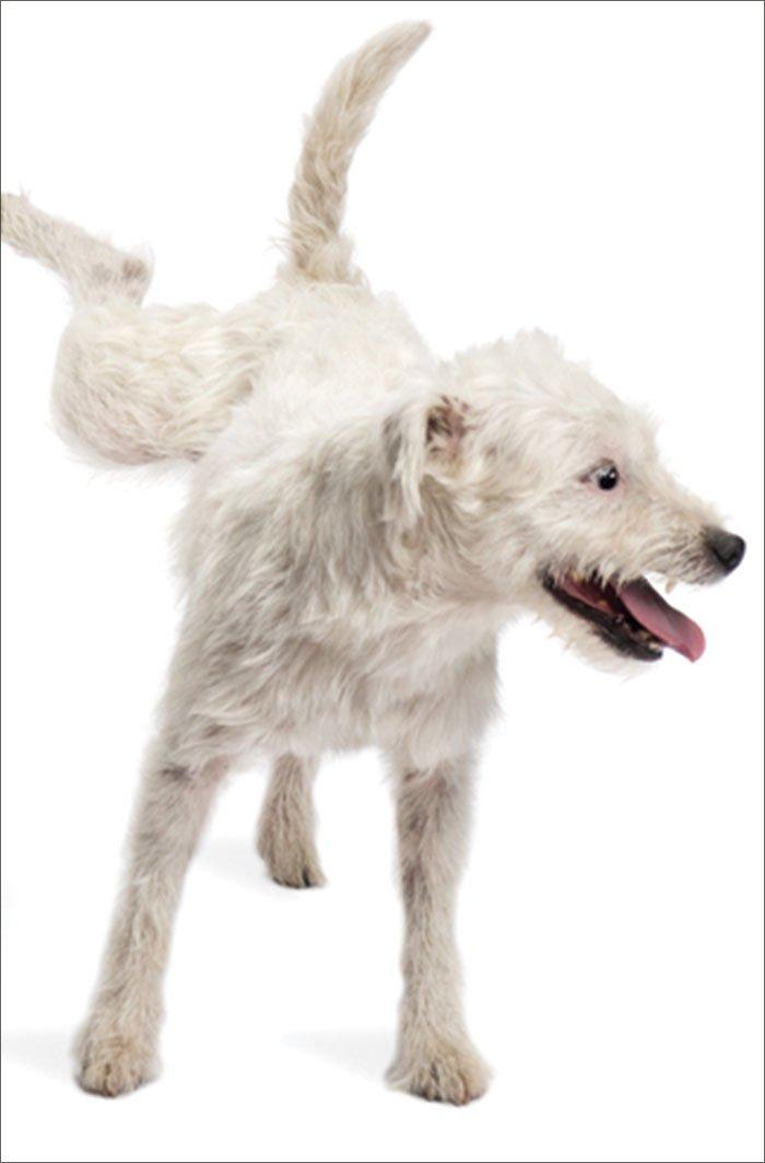 Formas de combatir las marcas de orina en el interior de su perro
