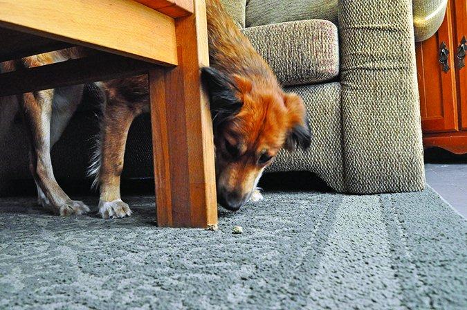 El trabajo de la nariz es un gran ejercicio para los perros!
