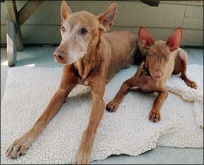 Formas de usar el bálsamo de limón en los perros