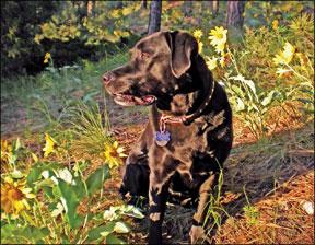 Gastroenteritis hemorrágica en perros