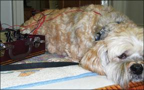 Acupuntura para perros con cáncer