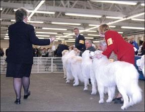 Cómo entrenar a los perros de exhibición