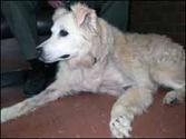 Los perros mayores y la cirugía