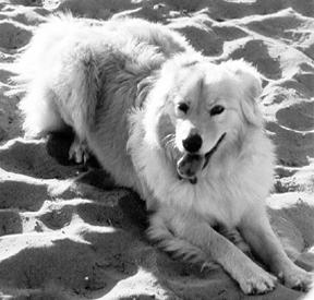 Comprensión de la insuficiencia cardíaca congestiva en los perros