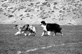 Los perros jóvenes aprenden de los perros mayores con buen comportamiento