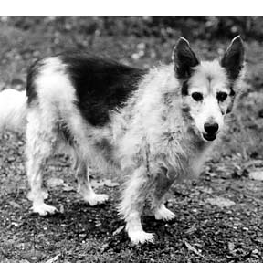 El sistema autoinmune canino