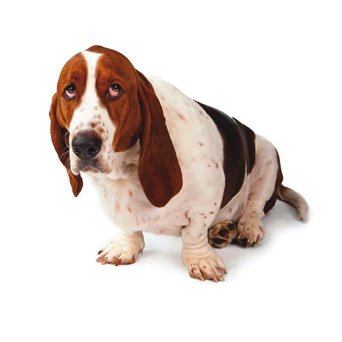 """Desacreditar el mito de la """"mirada culpable"""" del perro"""