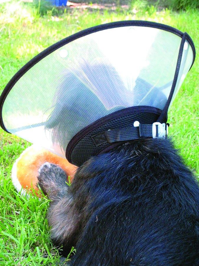Cómo tratar las heridas de los perros