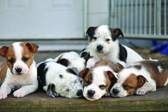 El moquillo en los perros