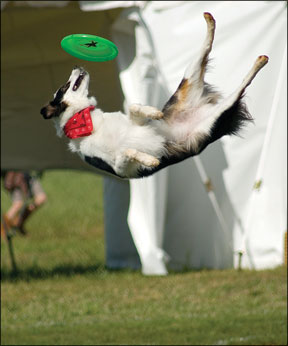 Concursos de perros de disco