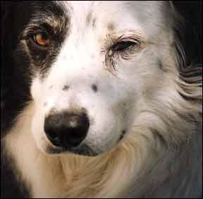 Causas de la conjuntivitis canina y opciones de tratamiento