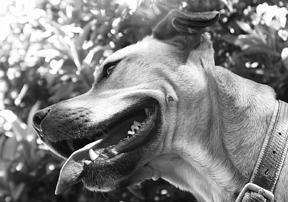Limpieza de dientes sin anestesia para su perro