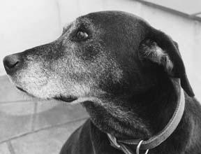 La hierba de espino mejora la función cardíaca en los perros