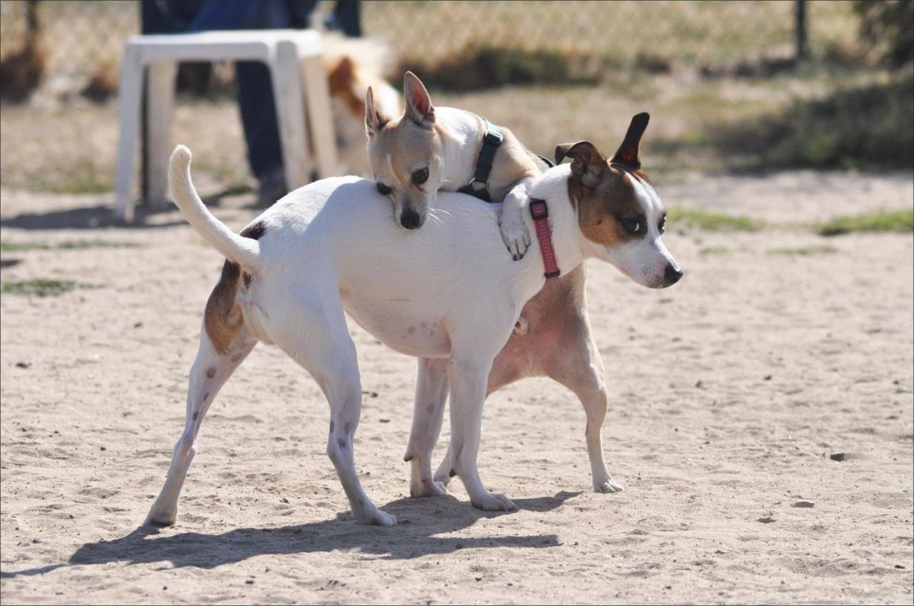 Esterilizar perros sin bisturí