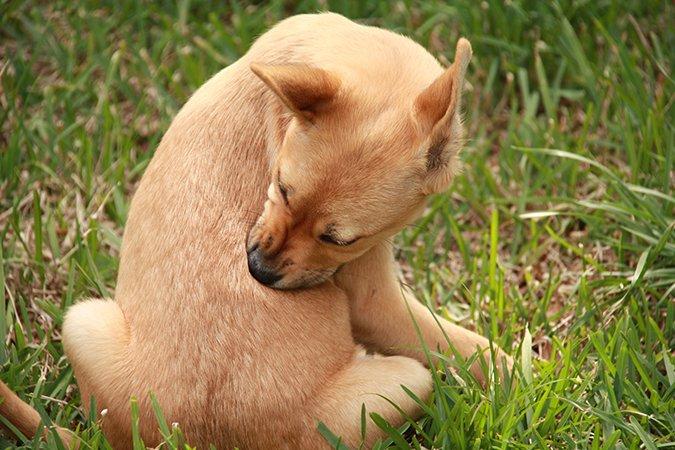 ¿Sospecha que su perro con picazón tiene una alergia alimentaria?