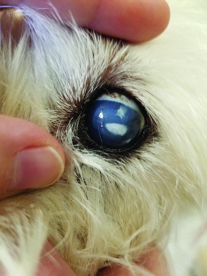 Ojos nublados en los perros