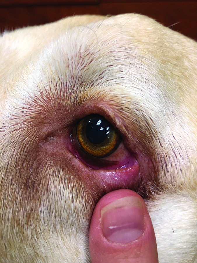 Entropión en perros: Cómo tratar este problema común de los ojos